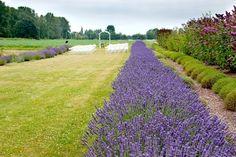 walk down an aisle of lavender- Blue Heron Herbary on Sauvie Island