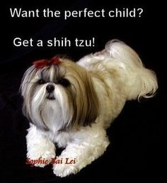 All About Shih Tzu Cachorro Shih Tzu Puppies Girls Source by The post Shih Tzu Puppies Girls appeared first on Dolan Dogs. Shar Pei Puppies, Shitzu Puppies, Yorkies, Tiny Puppies, Teacup Puppies, Retriever Puppies, Chihuahuas, Puppys, Labrador Retriever