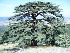 Sedir Ağacı  #herilebirorman