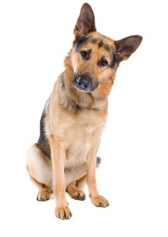 Canine Degenerative Myelopathy DNA Test