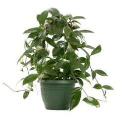 wax plant will help clear the air your home and is not toxic to dogs (per ASPCA)