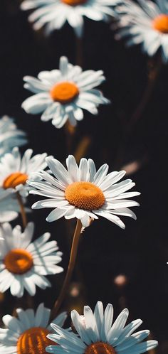 Wallpaper for your phone daisies