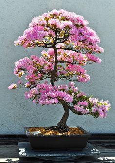 ~~Pink! | Azalea Bonsai in full bloom, National Arboretum, Washington, DC by school40~~