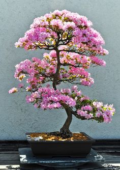 ~~Pink! | Azalea Bonsai in full bloom, National Arboretum, Washington, DC by school40~~