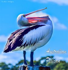 Australian Pelican and other birds from down under.