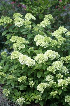Little Lime hydrangea brings the beauty of our Limelight hydrangea down to a size that will easily fit in any landscape. This dwarf hydrangea produces green summer flowers that turn pink in fall. Dwarf Hydrangea, Limelight Hydrangea, Hydrangea Paniculata, Hydrangeas, Hydrangea Landscaping, Landscaping Plants, Landscaping Ideas, Little Lime Hydrangea, Cottage Garden Design