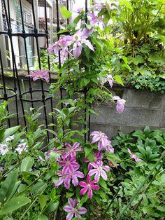 ホーム ガーデン Home Garden - Clematis クレマチス - コミュニティ - Google+