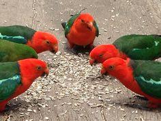 King Parrots - Mt Nebo