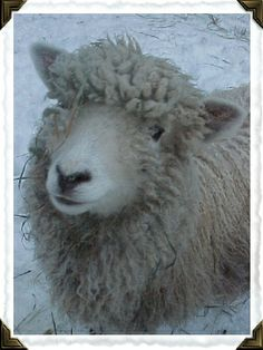 Our Amelia's baby picture some years ago- she's a Cotswold sheep!