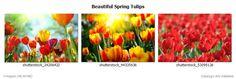 Grafica2411-Naturaleza-Animales-Paisajes-Flores-Cascadas-Estaciones-Insectos+Beautiful+Spring+Tulips+(from+grafica2411+-+Vinilos+Decorativos+-+Vitrales+Vinilo+-+Vinilos+Pared+-+Vinilos+Frases+-+Etiquetas+Vinilo)