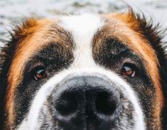 St Bernards, Nova Scotia Duck Tolling, St Bernard Dogs, Dog Pin, Dog Boarding, Dogs Of The World, Dog Portraits, Dog Lovers, Photography