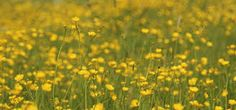 Image result for field buttercups