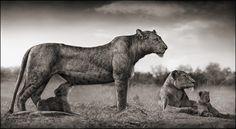 Lioness With Feeding Cubs, Masai Mara, 2007 [photographer_Nick Brandt, www.nickbrandt.com]