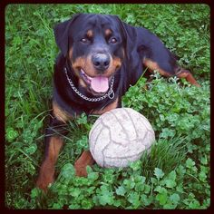 Rottweilers - such happy dogs!
