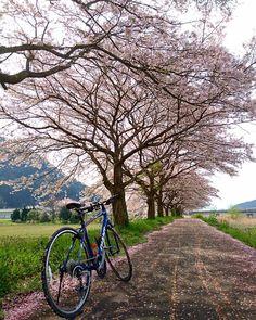 氷上桜ロード桜吹雪の中をライド中