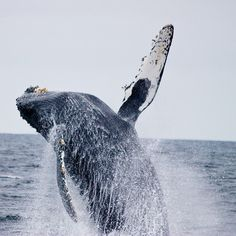 Breaching humpback whale, Farallon Islands. http://www.oceanicsociety.org/whale-watching-farallon-islands