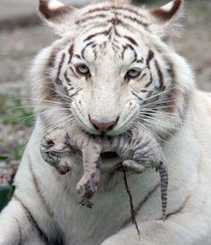 Newborn White Tiger & Mama