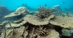 Dead table corals killed by bleaching on Zenith Reef, on the Northern Great Barrier Reef, November 2016.