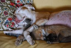 a sleeping dog and kitten welcome a baby fox