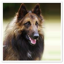Belgian Tervuren these are beautiful dogs !