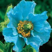 Himalayan'Blue Poppy'