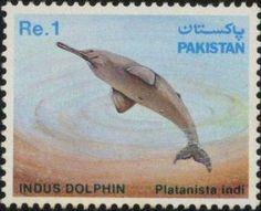 Blind Indus Dolphin (Platanista indi)