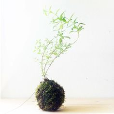 Edible Kokedama - Citronverbena Kokedama