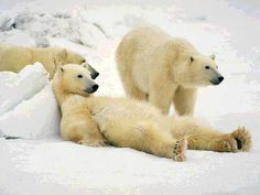 Canadian Polar Bears hanging out - if you want to see them, head to Churchill, Manitoba