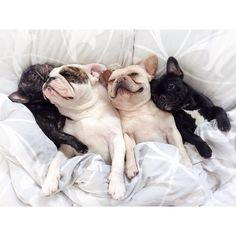 """We can't get out of your bed. These blankets have accepted us as one of their own and if we leave now we might lose their trust"". French Bulldogs"