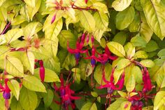 fuchsia genii - Two of my fuchsias are not labeled. The foliage of one looks just like this.