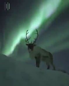 A gorgeous reindeer under the Aurora Borealis 🔥 - Animaux Nature Animals, Farm Animals, Animals And Pets, Wild Animals, Cute Funny Animals, Cute Baby Animals, Aurora Borealis, Beautiful Creatures, Animals Beautiful