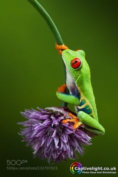 Red Eye Tree Frog by captivelightuk. Please Like http://fb.me/go4photos and Follow @go4fotos Thank You. :-)