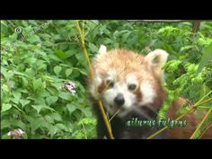 panda or firefox - YouTube