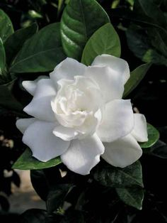 gardenia  -this is my all time favorite & I wish they grew in bushes in WA like they do in AL.