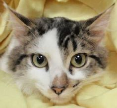 Brussels Sprout is a wonderful male kitten who can't wait to find his forever family!