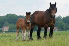 Big Horses, Draft Horses, Van, Animals, Shire Horse, Animales, Animaux, Animal, Animais