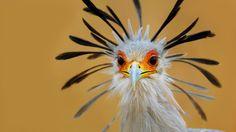 Птица секретарь. Secretary Bird.