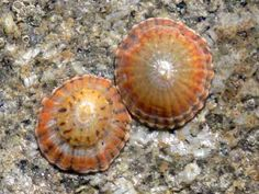 Limpet is a marine gastropod mollusk that has a low conical shell broadly open beneath, browses over rocks or timbers, and clings very tightly when disturbed.
