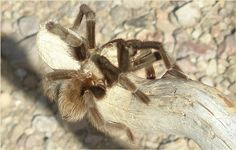 Tarantula spotted on the way to Dripping Springs