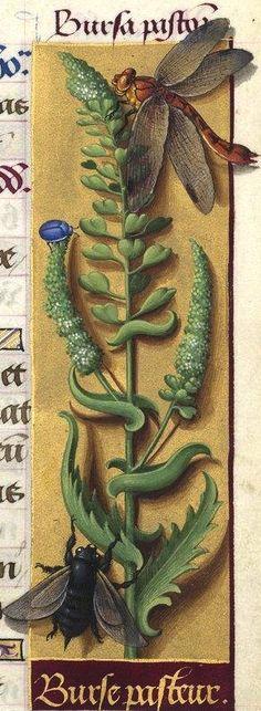 Burse pasteur - Bursa pastoris (Capsella bursa-pastoris Mœnch. = bourse à pasteur) -- Grandes Heures d'Anne de Bretagne, 1503-1508.
