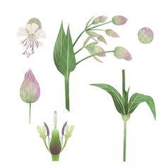 Taubenkropf Leimkraut #procreate #illustration #botany #nature #visufon #sciencecommunication #scienceillustrator #taubenkropfleimkraut #pflanzen