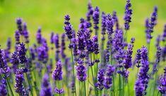 Buy Lavender Plants, Growing Lavender, Lavender Flowers, Purple Flowers, Lavender Oil, Lavender Hidcote, Lavender Seeds, French Lavender, Purple Ribbon