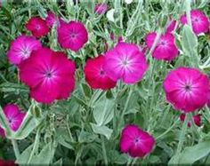 drought resistant perinnials for illinois rose campion perennial flower 25 seeds - Flower Garden Ideas Illinois