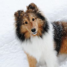 The Shetland Sheepdog originated in the and its ancestors were from Scotland, which worked as herding dogs. These early dogs were fairly Beautiful Dogs, Animals Beautiful, Amazing Dogs, Cute Puppies, Dogs And Puppies, Pet Dogs, Dog Cat, Sheep Dogs, Animals And Pets
