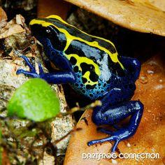Dart Frog Connection - Tinctorius Boulanger
