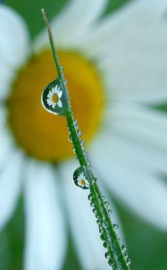Daisy Dewdrop