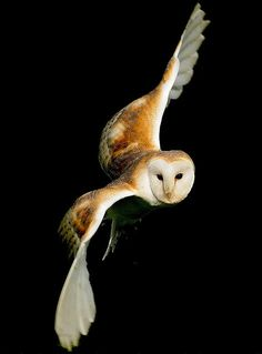 Barn Owl in Flight - from Content in a Cottage