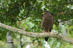 Crested serpent eagle  © Harshith JV  #photography #bird #birding #safari #raptor #eagle #avain #aves #Chordata #Accipitriformes #Accipitridae #Spilornis #cheela #300mm #canon #600d #canon600d #kabini #tigerreserve #kodagu #coorg #mysuru #mysore #nationalpark