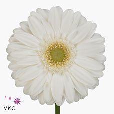 Gerbera Venganz is a pretty White cut flower. It is approx. 45cm