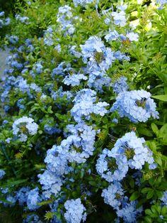 Blue Plumbago--one of my favorites! I grow it in my garden each year! Beautiful Flowers Garden, Pretty Flowers, Beautiful Gardens, Blue Plumbago, Pink Garden, Flowering Vines, Back Gardens, Flower Pictures, Garden Styles